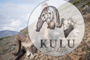 Roy Gully snow sheep hunt with Kulu Safaris outfitter
