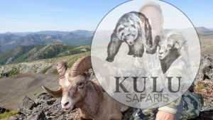 Snow sheep, hunter, hunt, trophy, game, tours, safari, mountains, nature, Magadan, Russa, Kulu Safaris