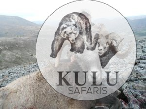 Snow sheep hunting in Magadan, Russia with Kulu Safaris